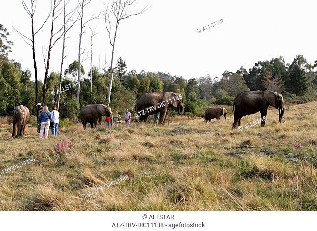 AFRICAN ELEPHANTS & PEOPLE; KNYSNA ELEPHANT PARK, SOUTH AFRICA; 05/07/2010