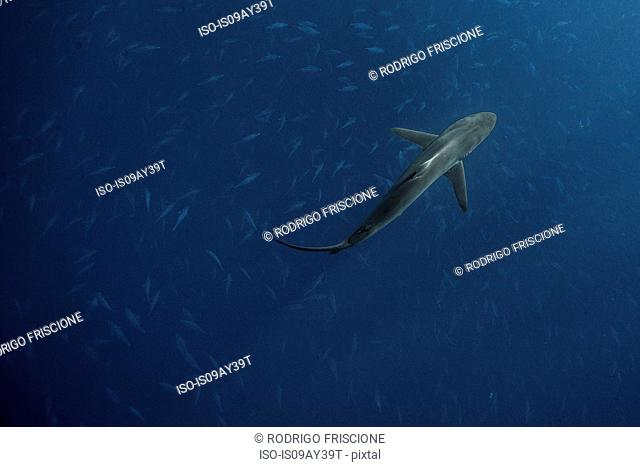 Silky shark (Carcharhinus falciformis) swims above school of bonito (sarda sarda) while hunting, San Benedicto, Colima, Mexico