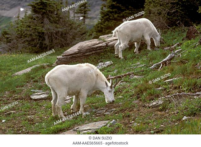 Mountain Goat (Oreamnos americanus), N. MT