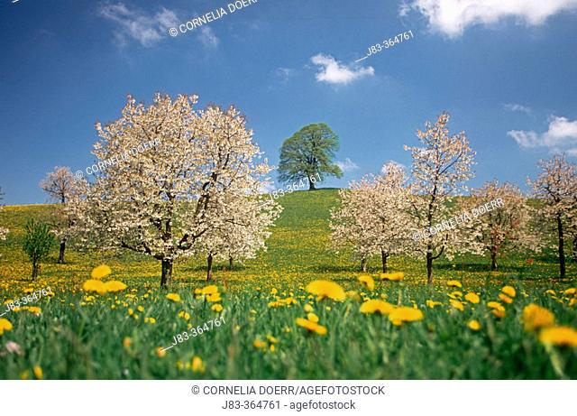 Orchard, lime-tree and blooming cherry trees in a meadow with dandelions