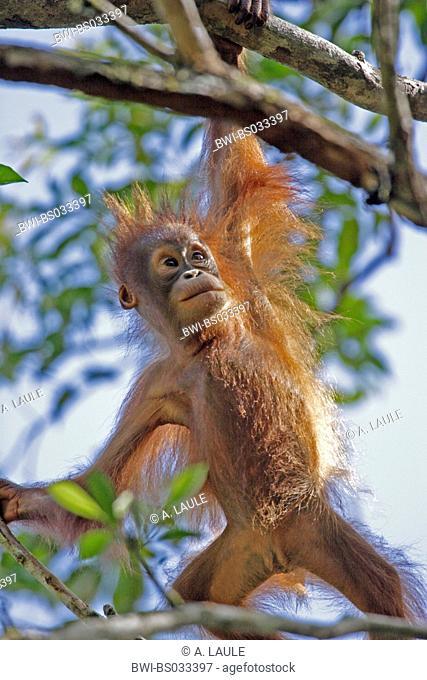 Bornean orangutan (Pongo pygmaeus pygmaeus), portrait of a cub, climbing in a tree, Malaysia, Sarawak