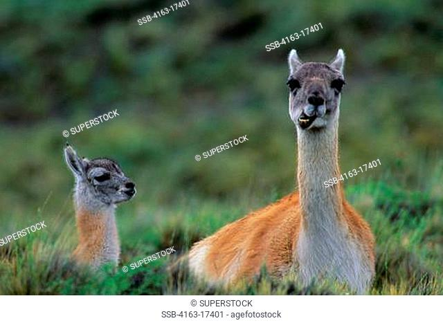 CHILE, TORRES DEL PAINE NAT'L PARK, GUANACOS, MOTHER WITH BABY, MOTHER RUMINATING