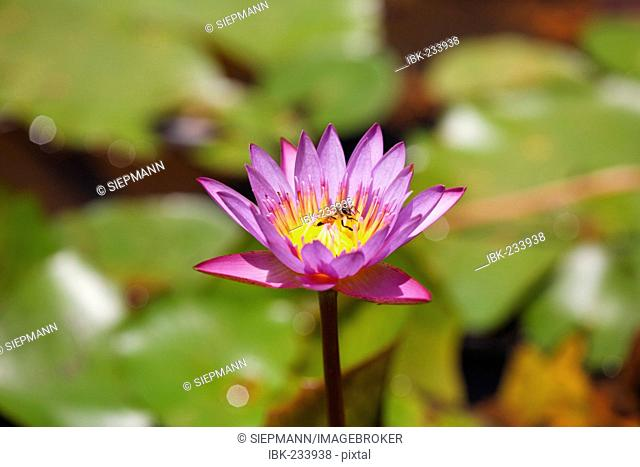 Blue Water Lily, Blue Lotus (Nymphaea stellata)