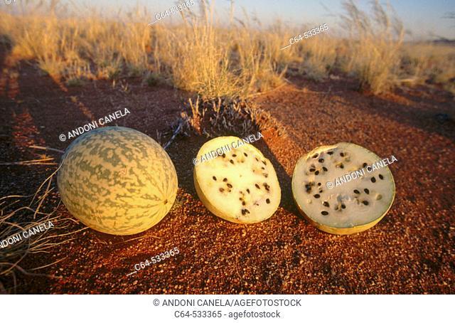Tsamma Melon.(Citrullus Lanatus). Namibia