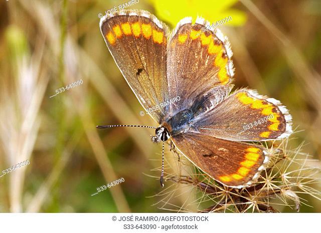 Butterfly. Aricia cramera