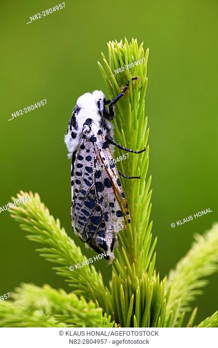 Black Arches or Nun Moth (Lymantria monacha), female resting on young sprout of a spruce - West Pomeranian Voivodeship/Poland