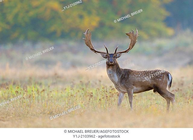 Fallow Deer in Autumn, Cervus dama, Hesse, Germany, Europe