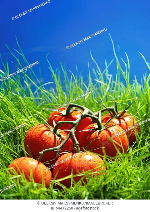 Vine-ripened tomatoes in green grass under blue sky