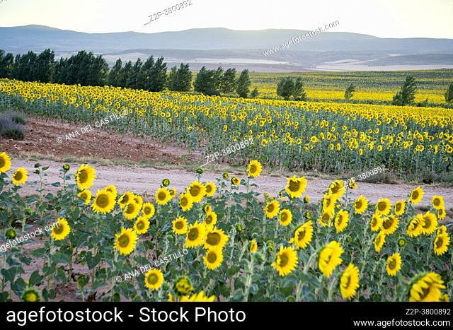 Field of sunflowers sunset clouds El Pobo Teruel Aragon Spain