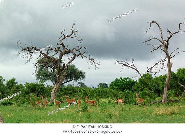 Impala Aepyceros melampus adult males, herd standing in habitat, Savute, Chobe N P , Botswana