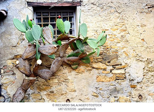 Italy, Liguria, Colla Micheri, Old Village, Fig Cactus on a House Wall