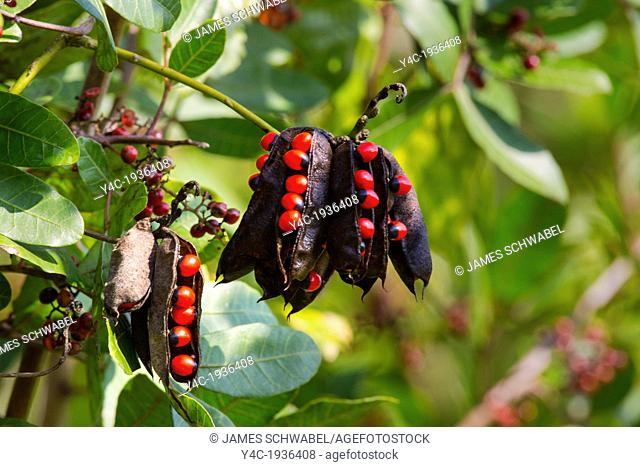 Rosary Pea or Crab's Eye or Indian licorice (abrus precatorius) in Wildflower Preserve in Englewood Florida . A very poisonous tropical woody vine with scarlet...