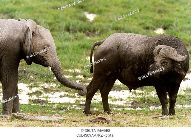 Cape buffalo (Syncerus caffer) and young African elephant (Loxodonta africana), Amboseli National Park, Kenya, Africa