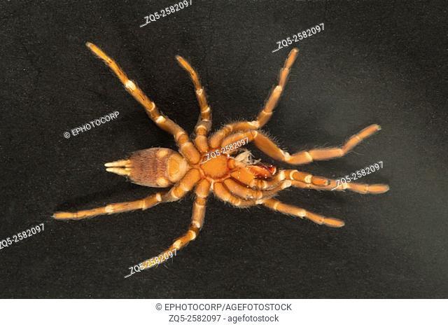 Tarantula front/belly (ventral) view, Tripura, India