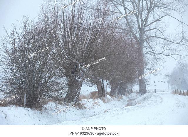 Willow, Pollard-willow Salix alba - Voerde, Lower Rhine, Niederrhein, North Rhine-Westphalia, Nordrhein-Westfalen, Germany, Europe