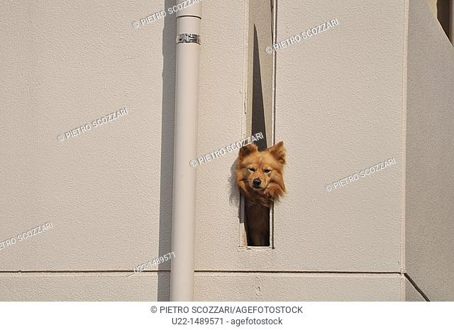 Naha (Japan): funny dog on a balcony