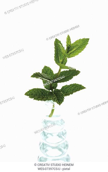 Mint in vase Mentha spicata var  crispa, close-up