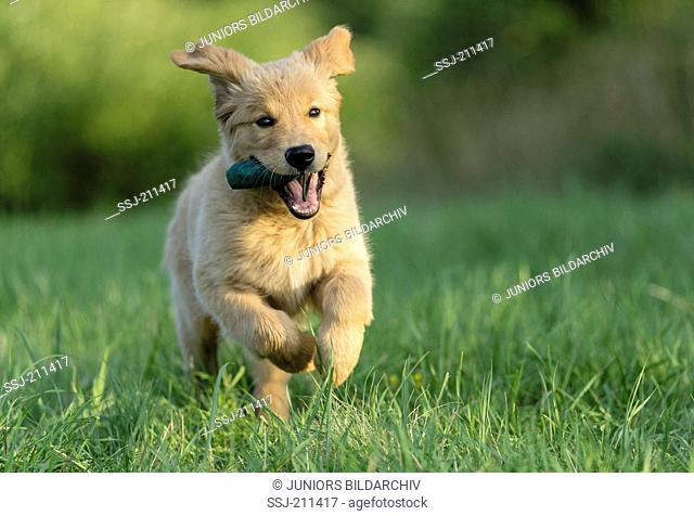 Golden Retriever. Puppy running on grass. Germany