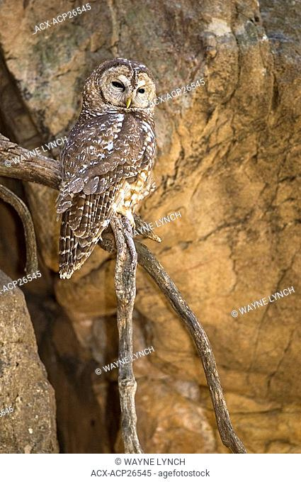 Adult female Mexican spotted owl Strix occidentalis roosting in a desert canyon, Huachuca Mountains, Arizona