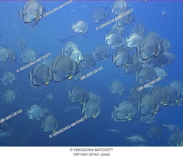 bat fish shoal WS below surface. Red Sea, Egypt