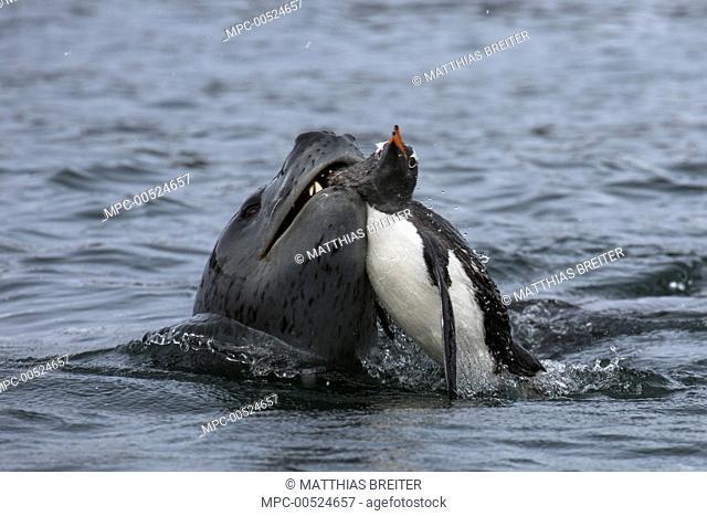 Leopard Seal (Hydrurga leptonyx) carrying Gentoo Penguin (Pygoscelis papua) prey, Port Lockroy, Weincke Island, Antarctic Peninsula, Antarctica