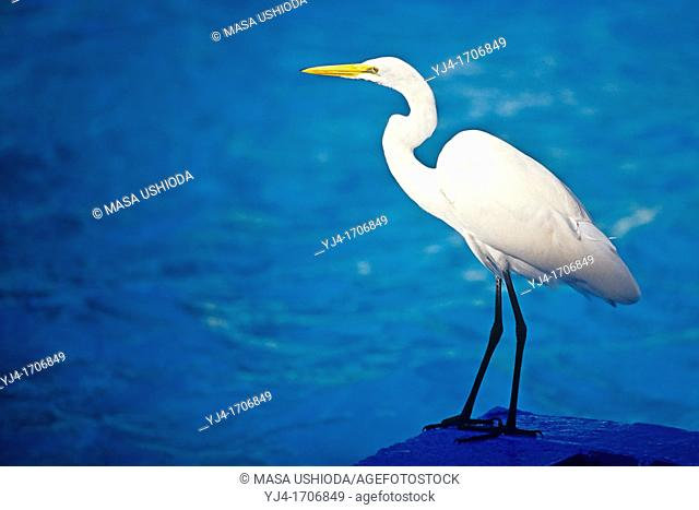 great egret, great white egret, common egret or great white heron, Ardea alba, Key Biscayne, Florida, USA