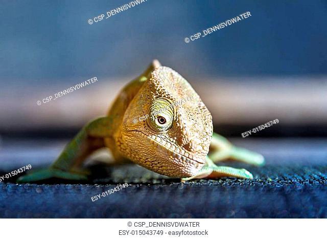 Parsons chameleon front