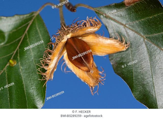 common beech (Fagus sylvatica), fruit with beechnuts, Germany