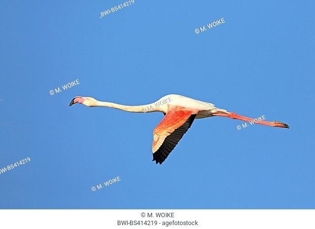greater flamingo (Phoenicopterus roseus, Phoenicopterus ruber roseus), flying flamingo, side view, France, Camargue