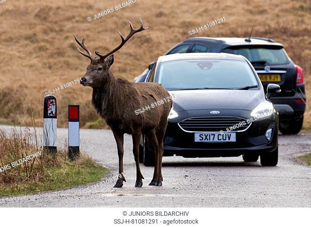 Red Deer (Cervus elaphus). Stag standing in front of a car. Scotish Highlands, Scotland, Great Britain