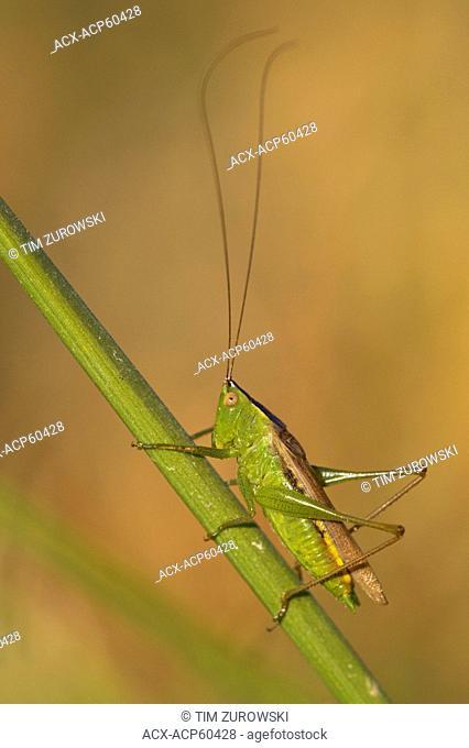Katydid family Tettigoniidae - Saanich BC, Canada