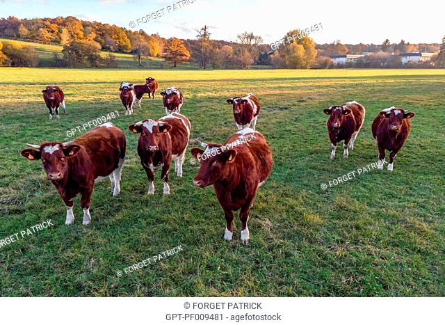 HERD OF MAINE-ANJOU COWS IN FRONT OF THE FOREST IN AUTUMN COLORS, RUGLES (27), FRANCE