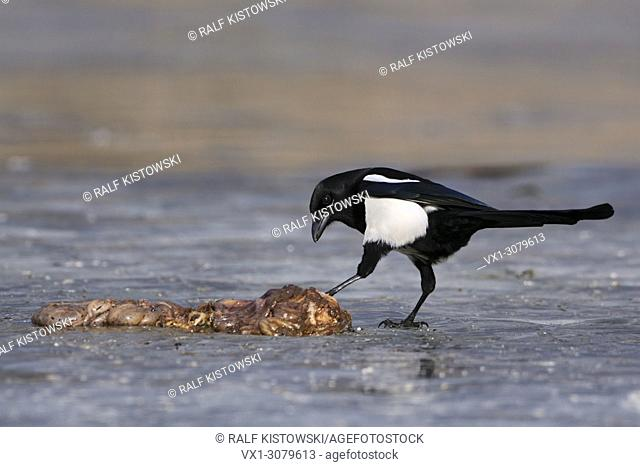 Shy adult Eurasian Magpie ( Pica Pica ) on a frozen lake controls some carrion, wildlife, Europe