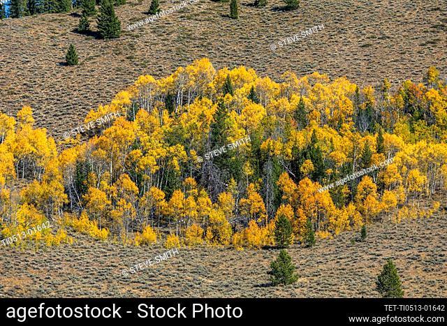 USA, Idaho, Stanley, Yellow aspen trees in mountain landscape