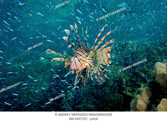 Red lionfish (Pterois volitans), hunting on a huge school of fish Hardyhead Silverside (Atherinomorus lacunosus), Red sea, Dahab, Sinai Peninsula, Egypt