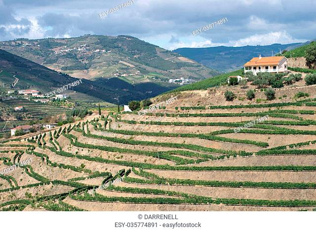 A vineyard in the Douro Valley. Douro Valley, Portugal. July 24, 2015