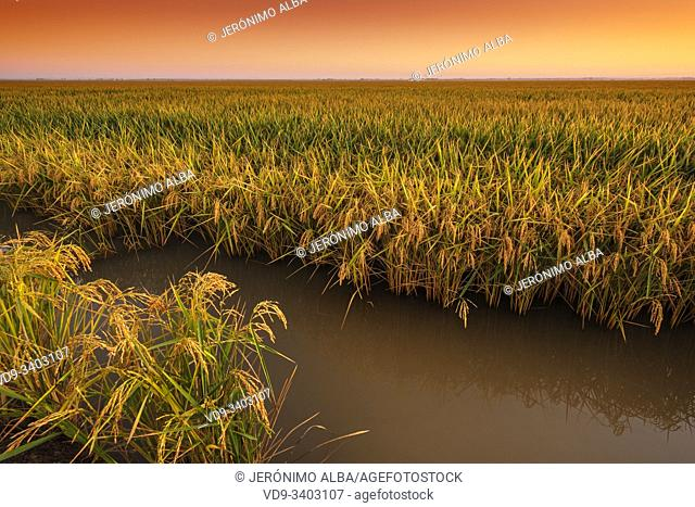 Rice fields in the Guadalquivir river delta at dawn near Los Palacios y Villafranca, Sevilla province. Southern Andalusia, Spain. Europe