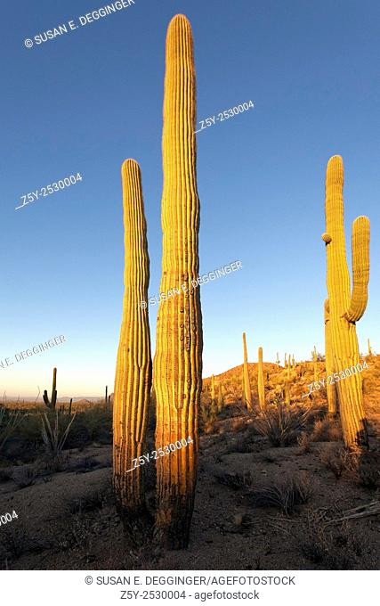 Giant Saguaro Cactus (Carnegiea gigantea), Saguaro West National Park, Tucson, Arizona