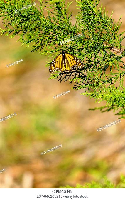 Selective focus on monarch butterfly resting on evergreen branch. Bokeh provides copy space in vertical image. Location is Pismo Beach Monarch Butterfly Grove...