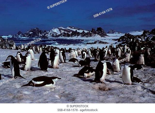 ANTARCTICA, SOUTH SHETLAND ISLANDS, NELSON ISLAND, CHINSTRAP PENGUIN COLONY