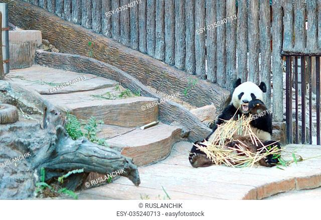 giant panda is eating bamboo