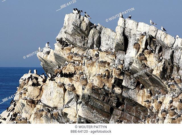 Cliffbirds, birdcolony on top of sea cliff, Norway, Scandinavia