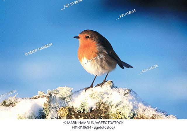 Robin (Erithacus rubecula). Perched on branch in snow. Strathspey. Scotland. UK