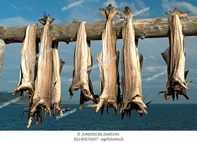 NOR, 2009: Atlantic Cod (Gadus morrhua). Stockfish on drying racks
