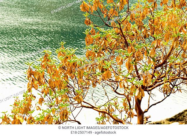 Canada, BC, Saltspring Island. Arbutus tree arbutus menziesii on the shore of Ruckles Provincial Park. Arbutus is the only native broadleaf evergreen tree...