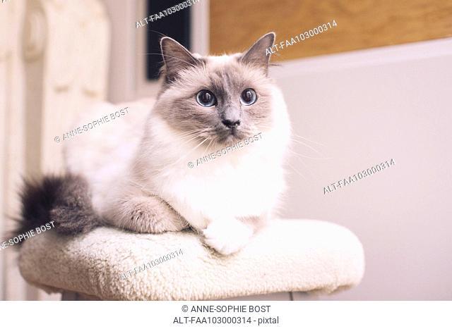 Ragdoll cat lying down, portrait
