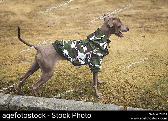 Little italian greyhound in the field. Fun with costumes