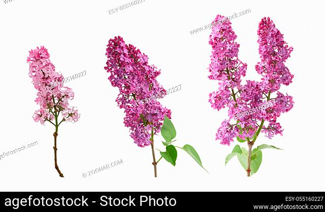 branch of purple lilac with flowers and green leaves isolated on white background, spring bouquet, set