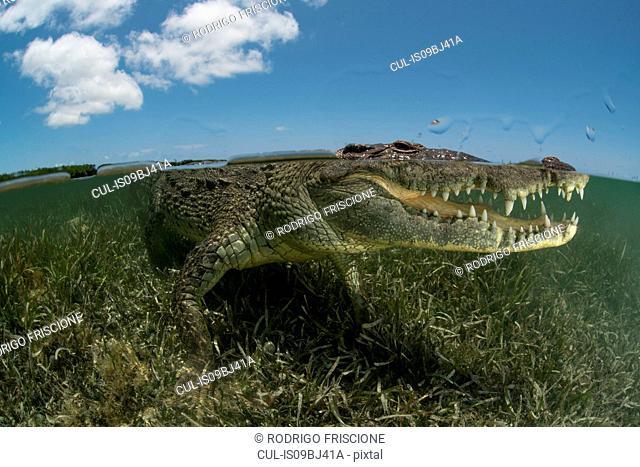 American crocodile (crocodylus acutus) in shallows showing teeth, Chinchorro Banks, Xcalak, Quintana Roo, Mexico