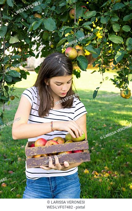 Girl with harvested apples in wooden box